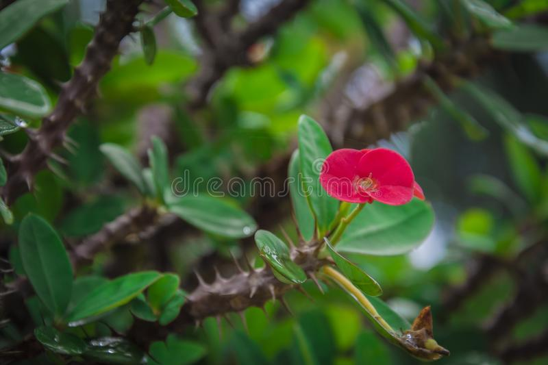 Red flower in the thorny bush in the garden in Kochi. Red flower thorny bush garden kochi stock images