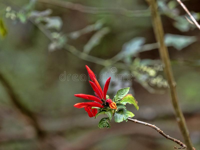 Red flower of a tree in the mountains,  Salvador. The Red flower of a tree in the mountains, Salvador royalty free stock image