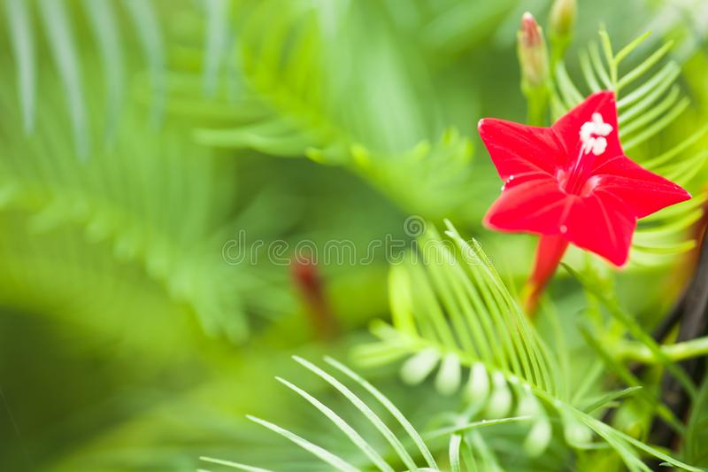 A red flower on vine. Floral, macro, redish, botany, nature, vegetation, boquet royalty free stock image