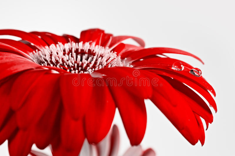 Red flower with water drops. Beautiful red flower with water drops stock image