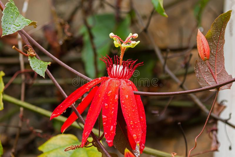 Red flower of wet Scarlet Passion Red passion flower, vine gro. Wing in Malaysia Passiflora coccinea royalty free stock photography