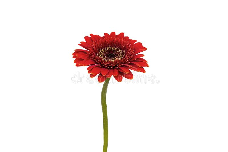 Red flower on a white background royalty free stock image
