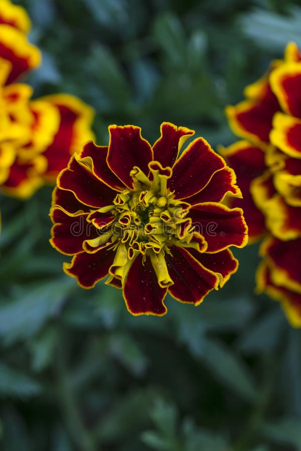 Red flower with yellow borders royalty free stock images