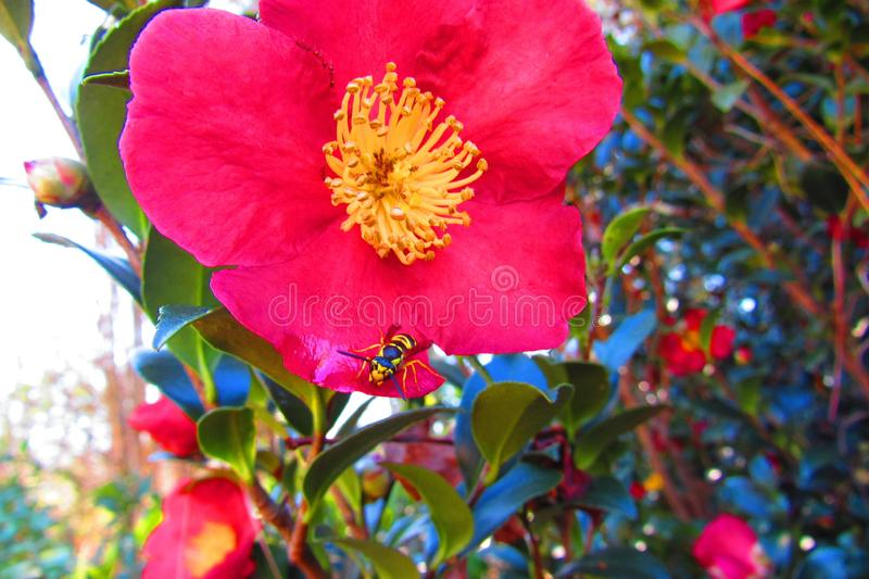 Red flower with yellow center and a bee on the edge of the petal. Closeup of the red flower with yellow flowery center surounded by grean leafy foliage on a royalty free stock photos