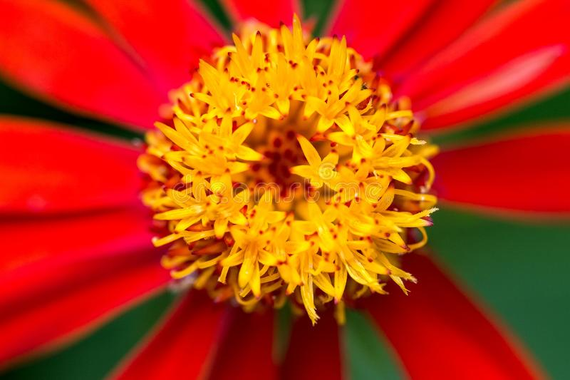 Red flower with yellow core close up. Photo of red flower with yellow core close up royalty free stock image