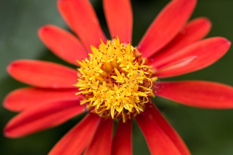 Red flower with yellow core close up. Photo of red flower with yellow core close up royalty free stock photo