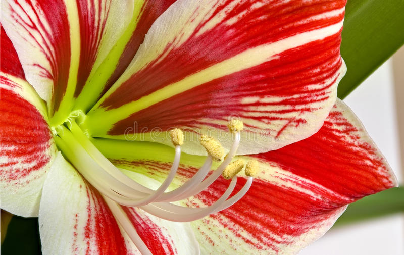 Red flower with yellow pistil stock photography