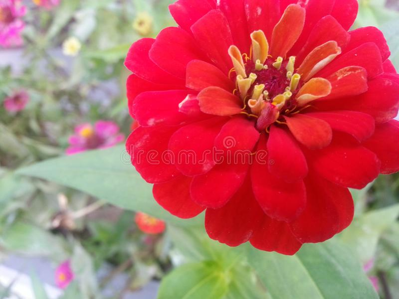 Red flower with yellow stamens and green leaves stock photo image download red flower with yellow stamens and green leaves stock photo image of color mightylinksfo