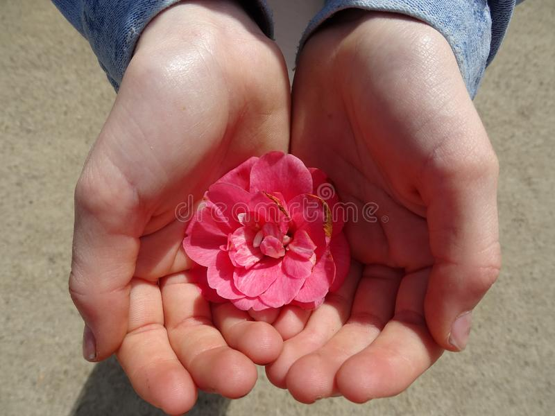 Red flower in young kids hands. With sand background and jeans jacket royalty free stock image