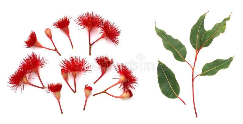 Red flowering Eucalyptus on white top view stock photos