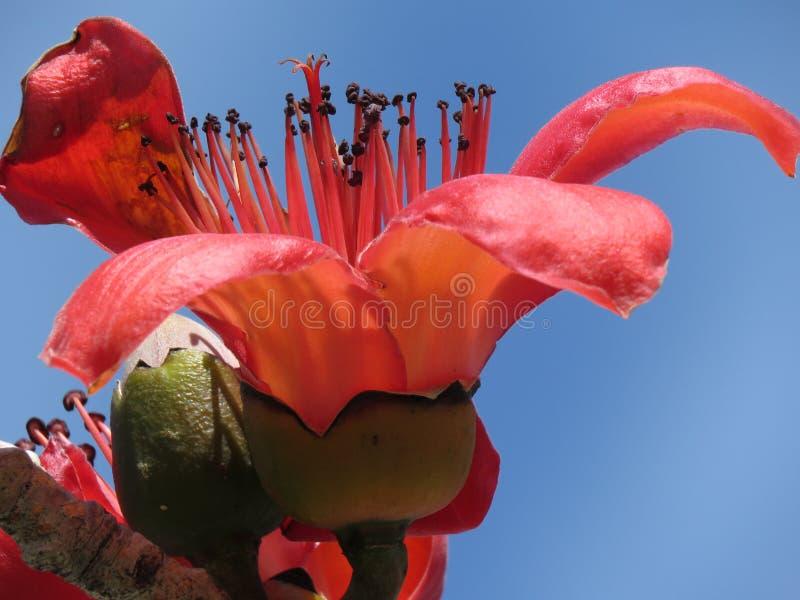 Flowering Kapok tree. Red flowering kapok tree blue sky Florida royalty free stock photography