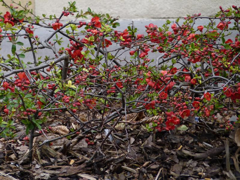Red flowering quince hedge shrub Chaenomeles japonica. Red flowering hedge shrub Chaenomeles japonica growing along a path. The species have become popular stock photography