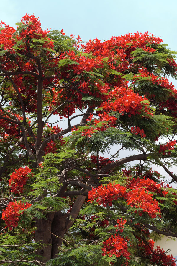 Red flowering tree royalty free stock image