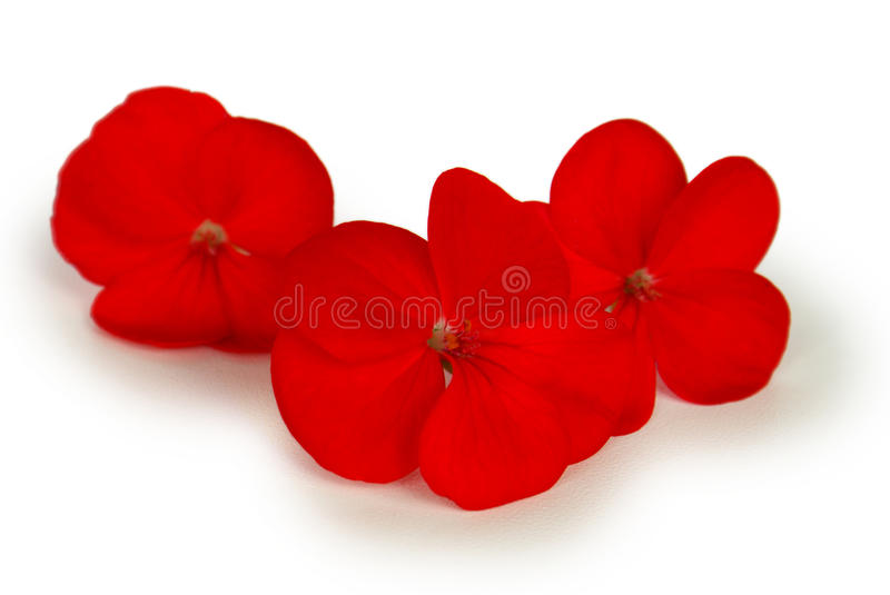 Red flowers. Three red flowers on against a background white stock photos