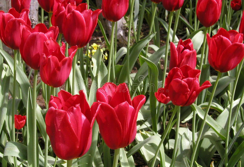 Download Red Flowers stock photo. Image of spring, gardening, green - 116146
