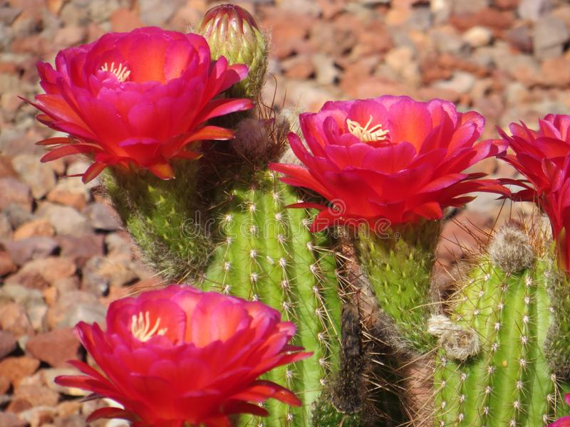 Red flowers adorn cactus. Bloom of red flowers on this cactus during May. Example of xeriscape in upscale retirement community near Phoenix, Arizona, in Sonoran stock photos