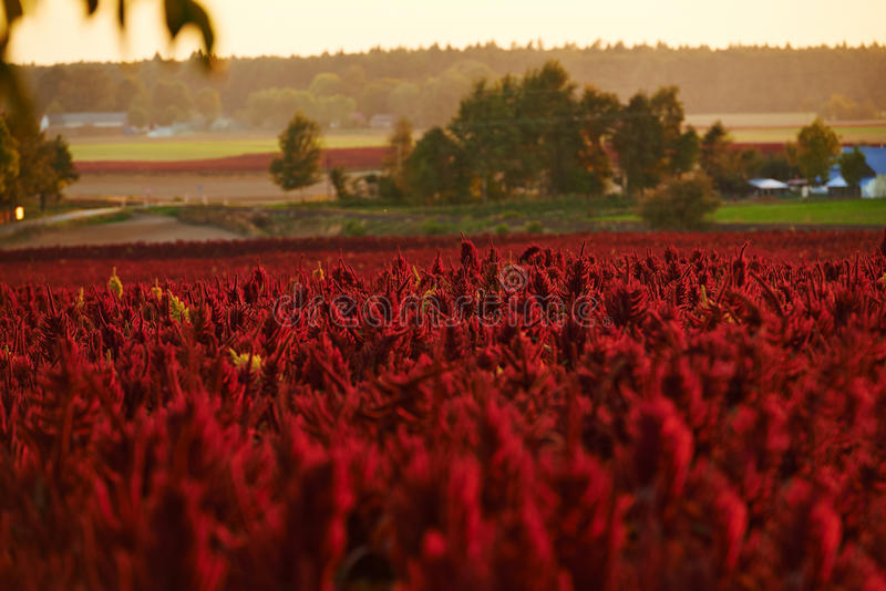 Red flowers amaranth. The field on which to grow amaranth. Amaranth flowers bloom in red royalty free stock image