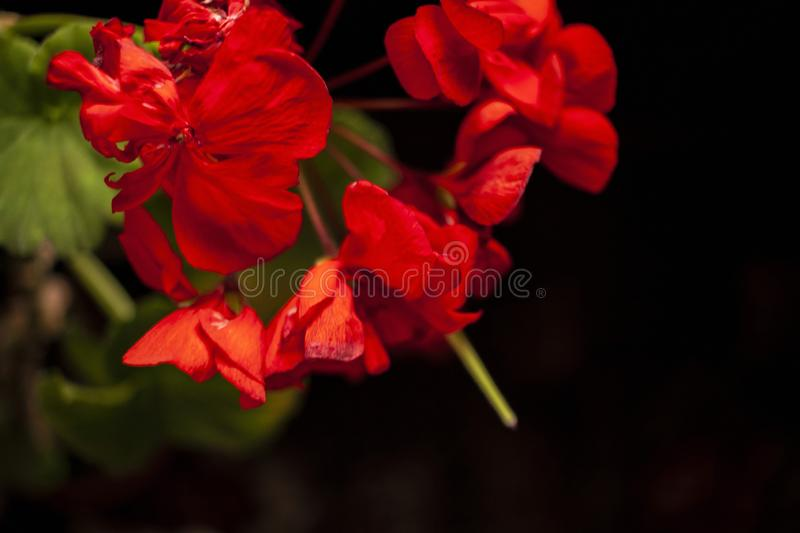 Red flowers on a black background close-up royalty free stock photography