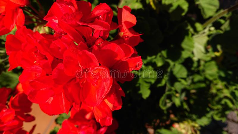 Red flowers in bloom. A bunch of red flowers in bloom royalty free stock image