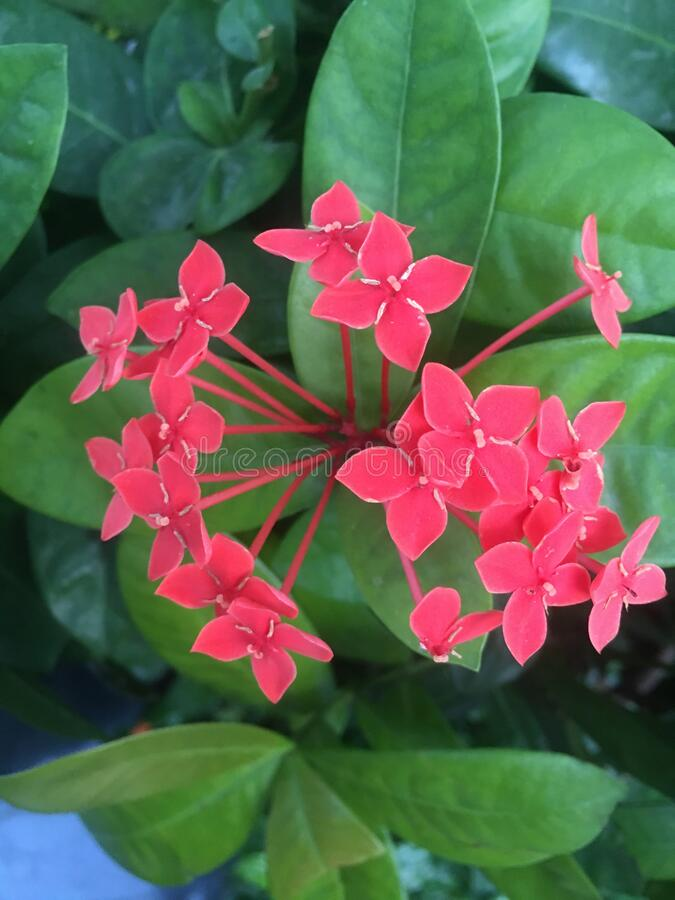 Red flowers blooming against green leaves. Give the red flowers a close-up, beautiful royalty free stock images