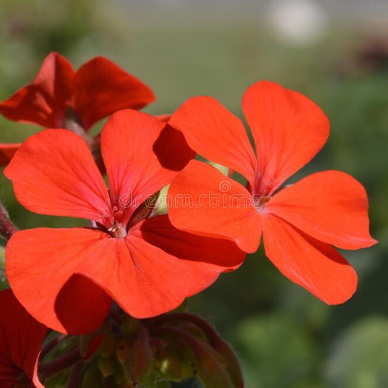 Red Flowers Blooming. royalty free stock image