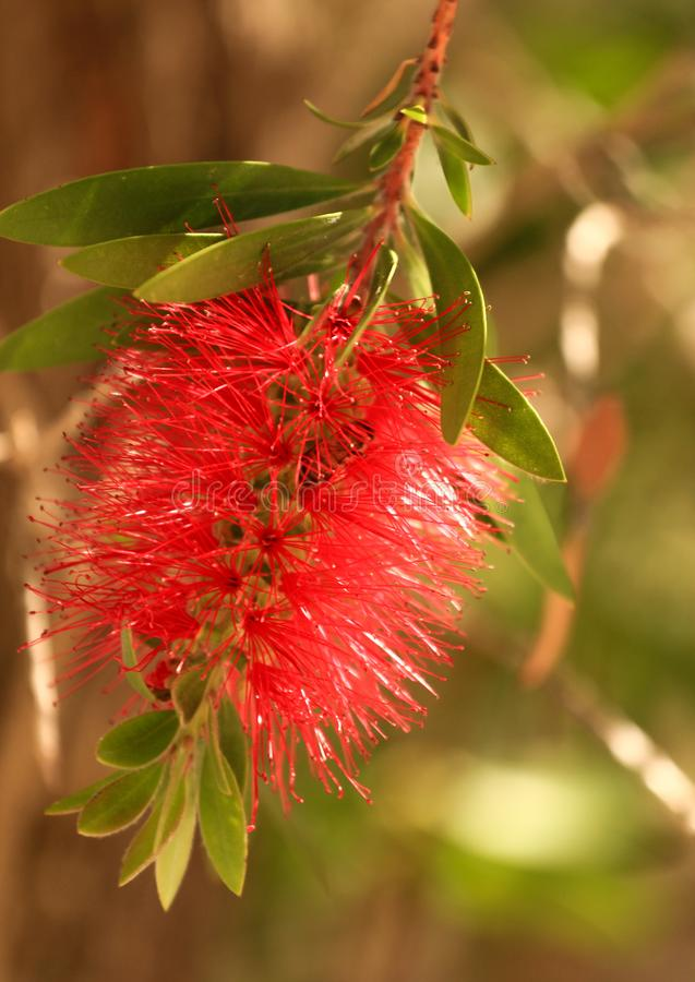 Red flowers of The Bottle Brush tree Callistemon. The Bottle Brush tree Callistemon, belongs to the Myrtaceae family royalty free stock images