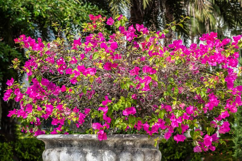 Red flowers Bougainvillea with green leaves grows in a beautiful big gray stone vase in a garden in summer royalty free stock photos