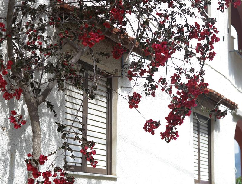 Red flowers on a flowering tree next to a house painted white, typical Greek. Summer day royalty free stock photo