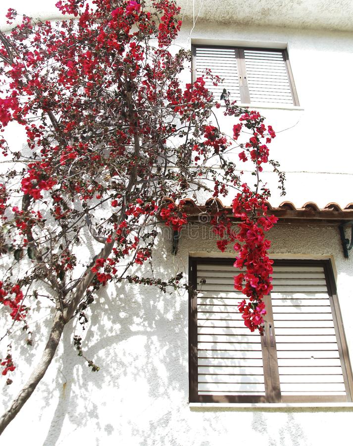 Red flowers on a flowering tree next to a house painted white, typical Greek. Summer day royalty free stock photography