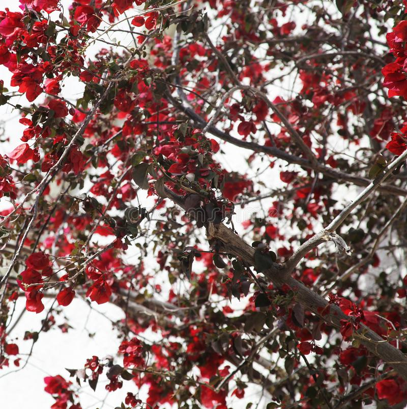Red flowers on a flowering tree next to a house painted white, typical Greek. Summer day stock photos