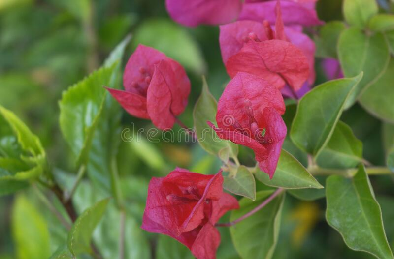 The red flowers royalty free stock photography