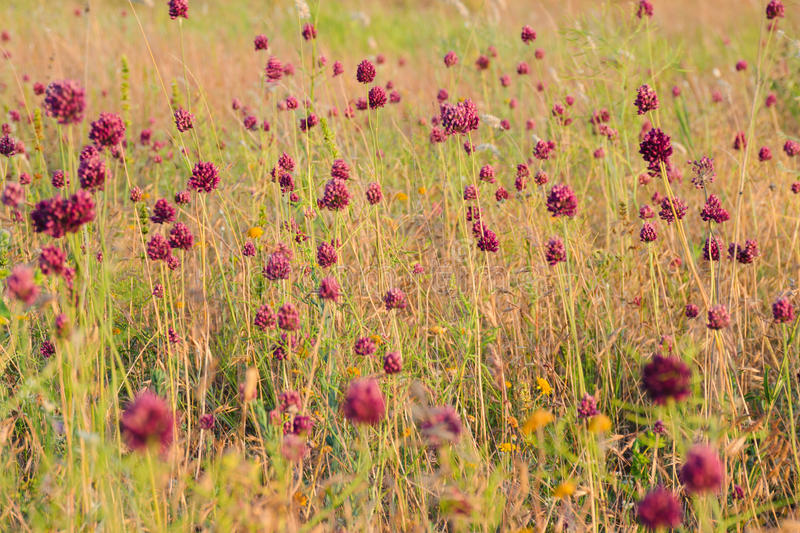 Red flowers with grass at the meadow. Sunset time with warm colors. Summer or autumn floral pattern. Red flowers with grass at meadow. Sunset time with warm royalty free stock image