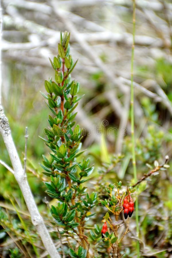Red flowers growing at high altitude. Red flowers growing in the paramo in the El Angel Reserve in Northern Ecuador stock image