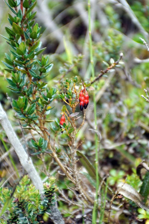 Red flowers growing at high altitude. Red flowers growing in the paramo in the El Angel Reserve in Northern Ecuador stock images