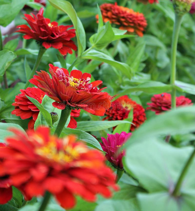 Red flowers in a huge blooming garden. Wild,nature,flowers,garden,red,green royalty free stock photo