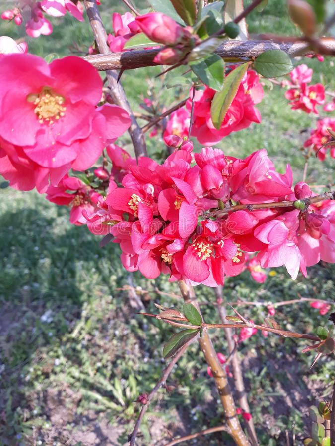 Red flowers Japanese quince. Japanese quince lat. Chaenomeles japonica belongs to deciduous shrub plants family: Rosaceae. It originates from Asia, her homeland royalty free stock image