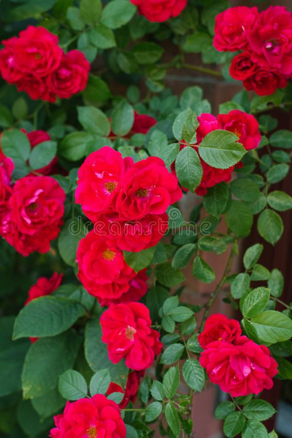 Red flowers mini roses. In the garden stock photo