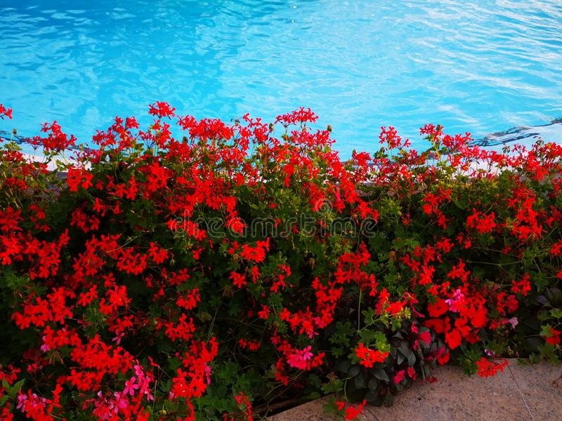 Geranium flowers at the edge of the pool stock image