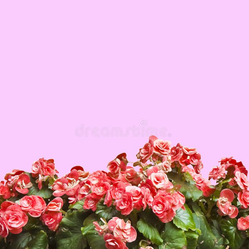 Red flowers on pink solid color background for easy selection - Art toned image with painted image effect.  royalty free stock photo