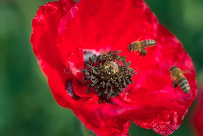 Red flowers Pollinating. Soft focus bees inside poppy stock photo