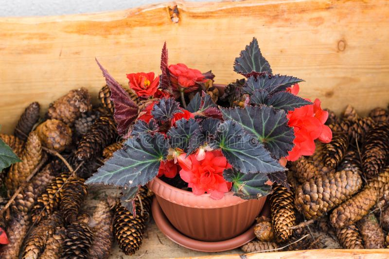 Red flowers in a pot. Around the pot of flowers are fir cones for decoration royalty free stock images