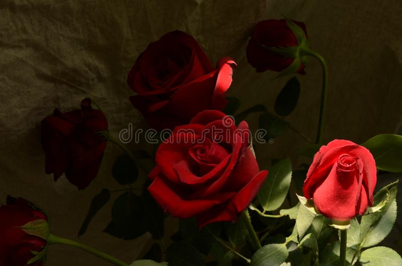 Red Flowers ,rose, red rose, plant, Flos rosae rugosae stock photos