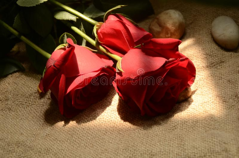 Red Flowers ,rose, red rose, plant, Flos rosae rugosae stock image