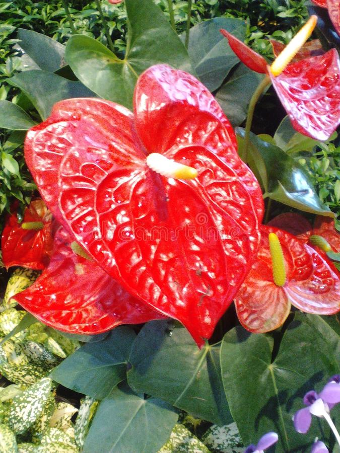 Red Flowers Spadix royalty free stock photo