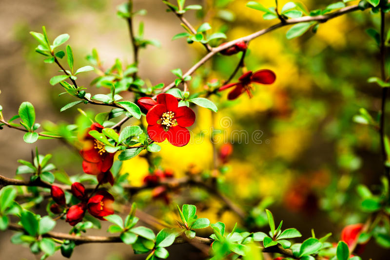 Red flowers. Spring red flowers in sunny day royalty free stock images