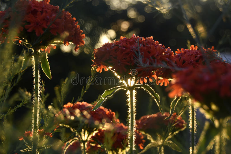 Red flowers under the evening sun royalty free stock images