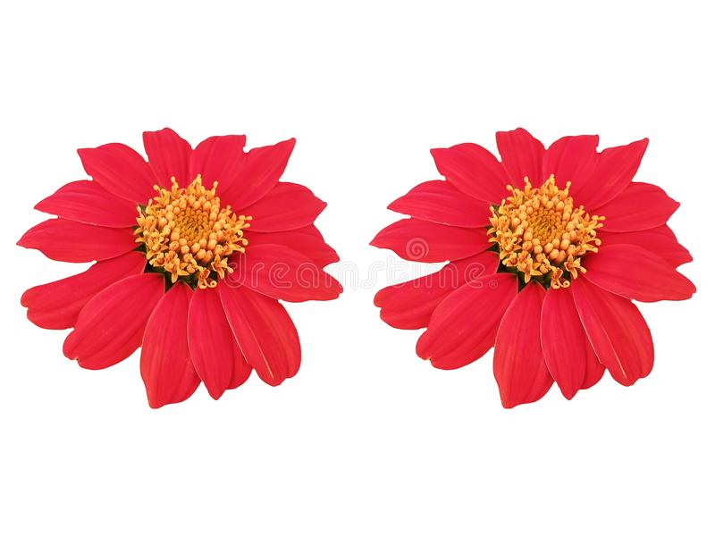 Red flowers on white background. royalty free stock images