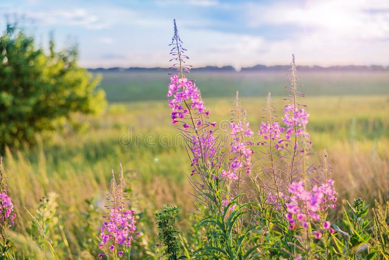 Red flowers of a willow-herb on a meadow stock image