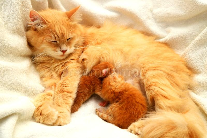 Red fluffy cat feeds 2 small newborn kittens on a white background. Lactating cat and her children, a few days from birth, stock photo