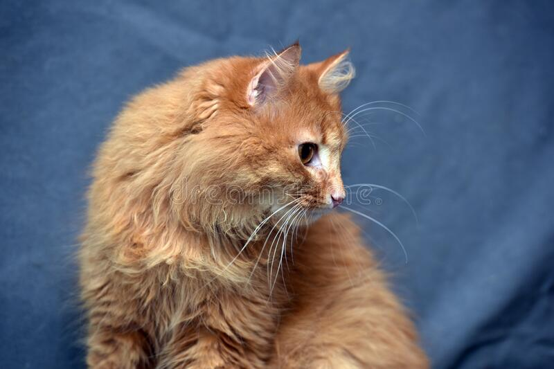 Red fluffy cat on a gray. Background stock photography